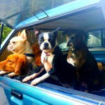 pack of happy dogs in a truck
